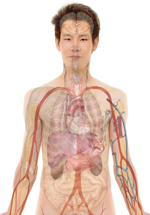 anatomy-254129_960_720