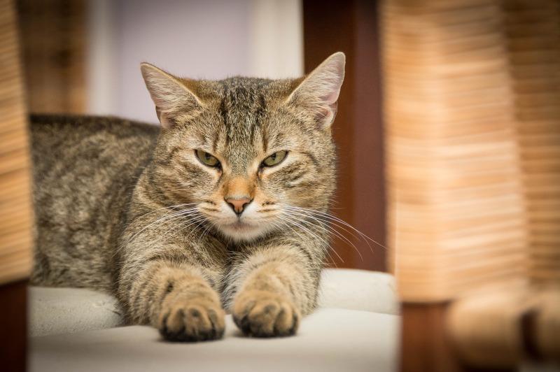 domestic-cat-726989_1920